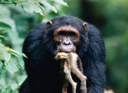 Шимпанзе доедает красного колобуса