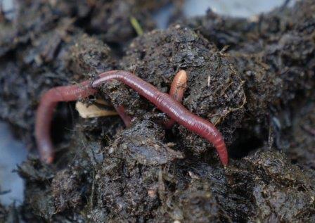 Обычный дождевой червь