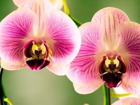Биологи составили новое родословное древо орхидей