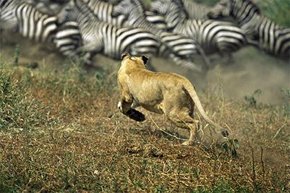 Полосы на шкуре зебр оказались плохой маскировкой от хищников