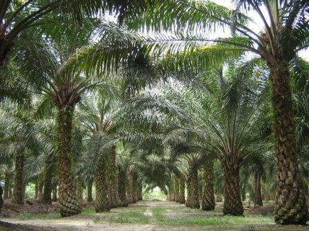 Раскрыта тайна масличной пальмы