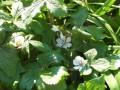 Podophyllum hexandrum