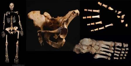 Скелет, таз, кисть, стопа человека из Sima de los Huesos.