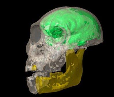 Череп и виртуальный мозг австралопитека седиба