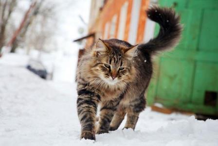 Почему кошки гуляют сами по себе
