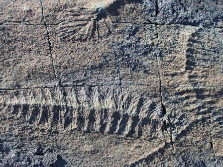 Отпечатки эдиакарских организмов рода Fractofusus, размножавшихся половым путем
