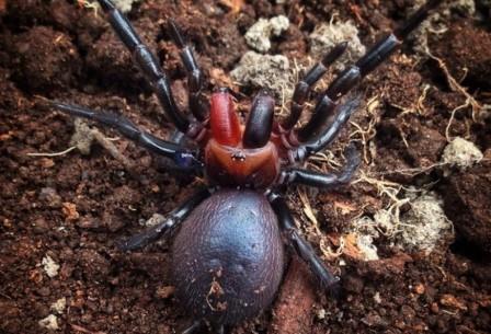 До этого арахнологи никогда не видели пауков с красным клыком и таким же пятном на голове