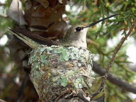 Ястребы помогают колибри безопасно вырастить птенцов
