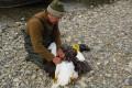 В Магаданском заповеднике волк загрыз краснокнижного орлана