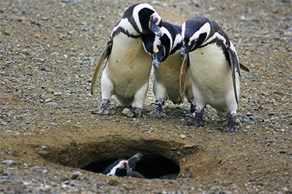 Моногамные пингвины оказались сторонниками раздельного проживания