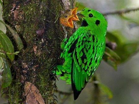 Большой зелёный рогоклюв (Calyptomena whiteheadi) с птенцами