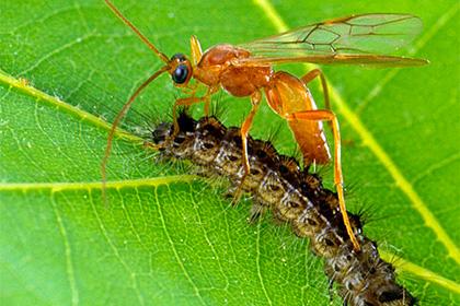Ос-паразитов уличили в генной модификации своих жертв