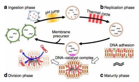 синтетические клетки, способные к самостоятельному воспроизведению