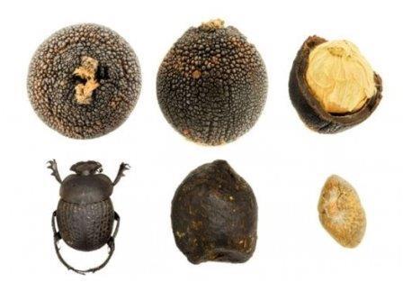 Южноафриканское растение обманывает жуков-навозников