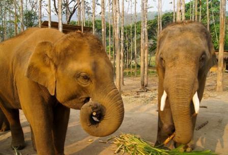 Пчел в Таиланде научили охранять поля от слонов