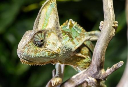 Ученые предположили, что каждый из глаз хамелеона может выполнять в его организме отдельную роль и служить для выполнения разных задач