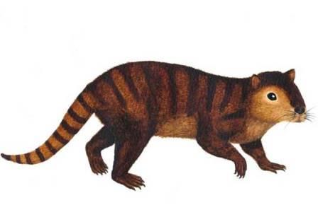 Kimbetopsalis simmonsae
