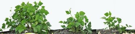 Куст слева рос под защитой насекомых, привлеченных ароматами дикого растения, в середине – под защитой искусственных феромонов, привлекавших насекомых, справа – в нормальных условиях