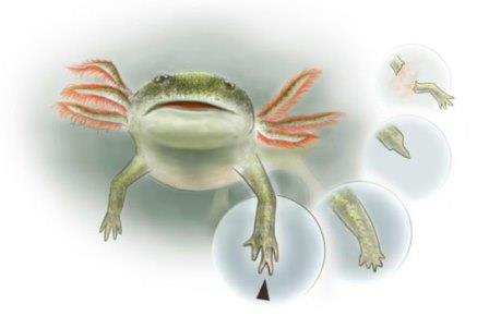 Раннепермская амфибия Micromelerpeton credneri