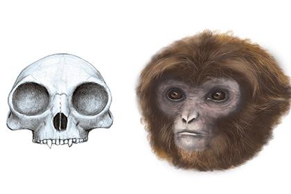 Общий предок человекообразных обезьян оказался похож на гиббона