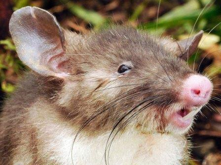 Свиноносая крыса