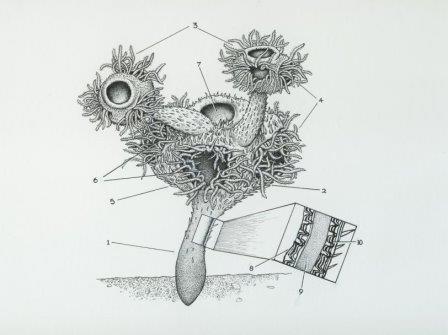 Namacalathus hermanastes
