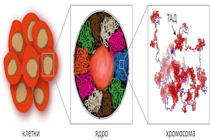 Расположение топологически ассоциированных доменов (ТАД) в ядре клетки