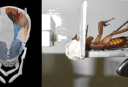 Таракан на испытаниях: слева — микротомография головного отдела с выделенными мышцами левой мандибулы; справа — замера сила укуса