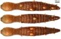 Прототип научно-фантастического червя нашли в кембрийском море