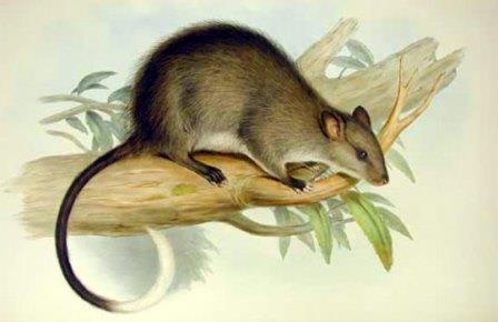 Один из представителей австралийских гигантских крыс, Mesembriomys gouldii