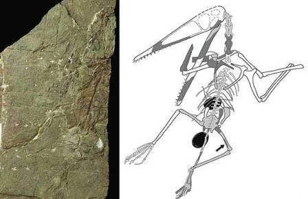 Птерозавры могли вынашивать по два яйца сразу