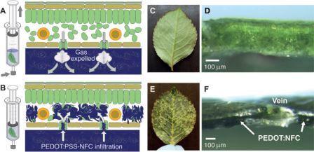Так ученые превратили лист в природный аналог ЖК-экрана