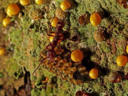Перуанская гусеница ест паразитическое растение и угощает муравьев