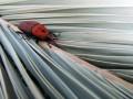 Красный пальмовый долгоносик