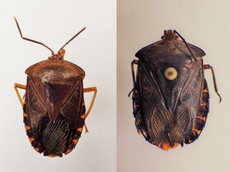 Tamolia ramifera (слева) и Tamolia ancalagon