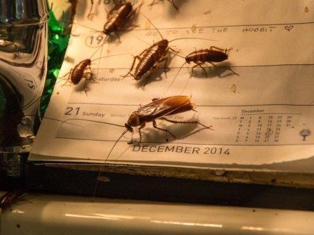 Бактерии помогают тараканам быть вместе