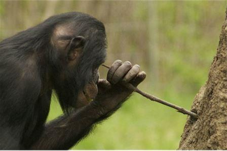 У карликовых шимпанзе впервые обнаружили способность делать орудия
