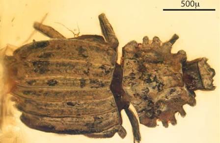 Янтарь сохранил уникального жука из мелового периода