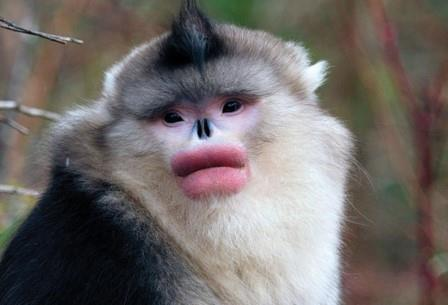 От природы эти приматы, считающиеся вымирающим видом, не самые симпатичные