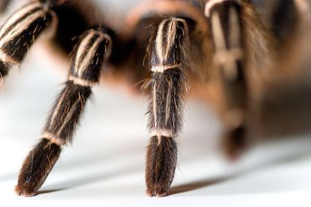 Тарантулы используют наноструктуры для выращивания своего окраса