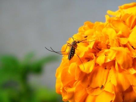 Цветущий куст на берегу пруда привлекает комаров-самок