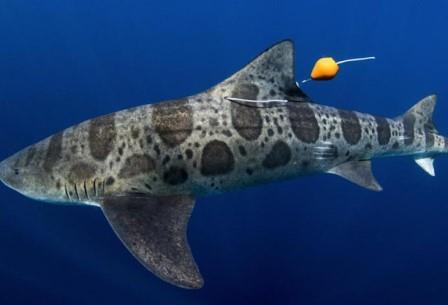 Лишь 37,2 % акул с нарушением обоняния вернулись домой, в то время, как у группы акул, которым не «забивали» нос, такой процент оказался выше – 62,6 %