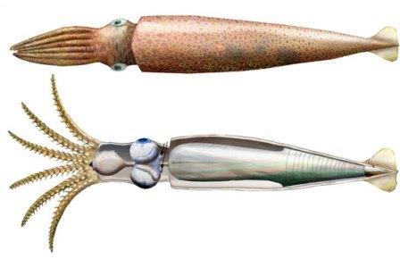 Реконструкция мелкоплавниковой формы Acanthoteuthis (вверху) и строение мягкого тела белемнита (внизу)