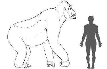 Сопоставление размеров Gigantopithecus и человека
