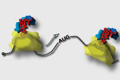 Рибосома движется по матричной РНК