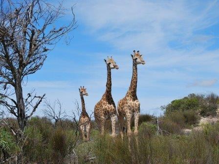 Матери-жирафы объединяются для защиты детенышей