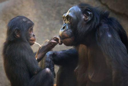Ученые определили, когда жили «Адамы» различных приматов