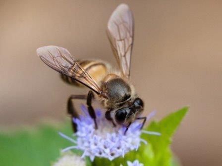 Китайская восковая пчела