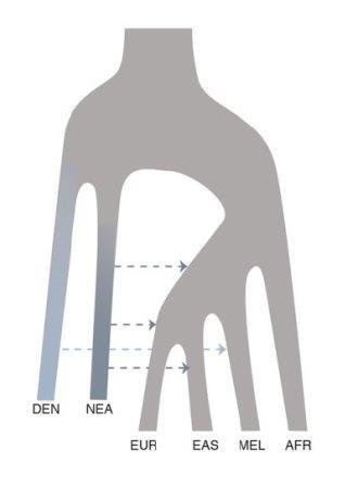 История смешения человеческих популяций, согласно данным из статьи. DEN — денисовцы, NEA — неандертальцы, EUR — европейцы, EAS — восточные азиаты, MEL — меланезийцы, AFR — африканцы.