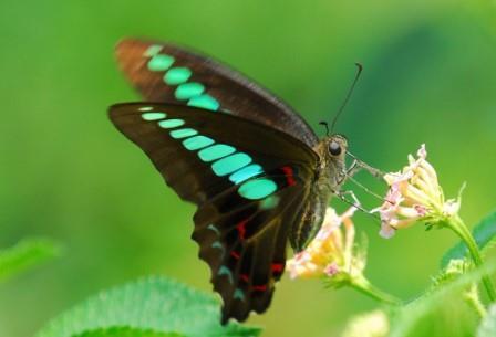 Великолепные бабочки-парусники отличаются великолепным зрением